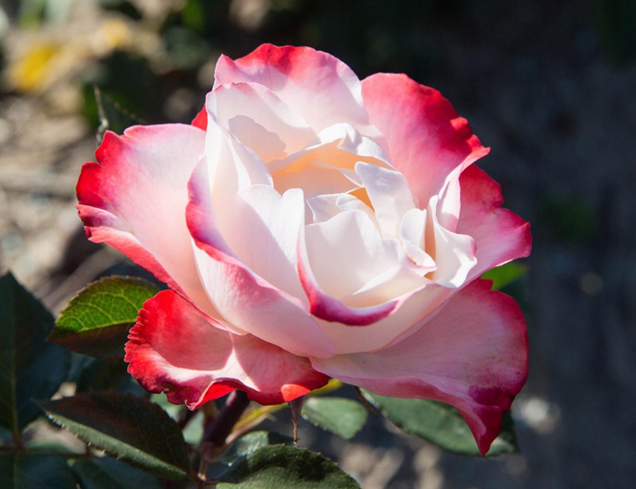 наступающем году ностальжи роза чайно гибридная фото описание что она зачастую